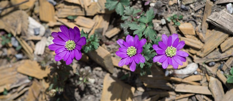 Balkan Anemone, Flowers, Spring, Blossom, Bloom