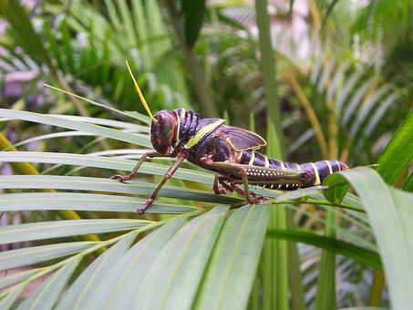Grasshopper, Brazil, Insect, Tropical, Forest