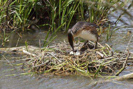 Brood Care, Great Crested Grebe, Nest, Bird Eggs
