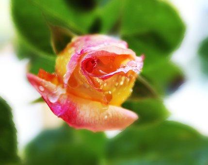 Rosebud, Photo Painting, Water Drops, Drips, Bud, Pink