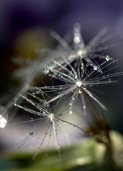Dandelion, Drops, Macro, Plant, Water
