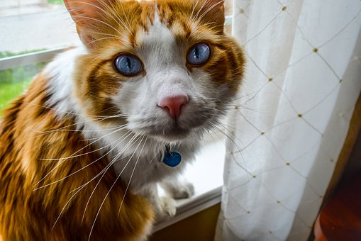 Cat, Feline, Pretty, Eyes, Blue, Collar, Pet, Kitten