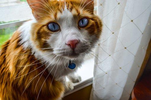 Cat, Feline, Pretty, Eyes, Blue, Collar, Pet, Kitten