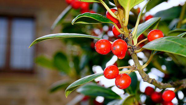 Berries, Red, Forest, Plants, Fruit, Nature, Shrub