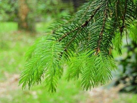 Conifer, Forest, Green, Foliation, Needles, Conifers