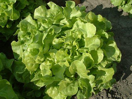 Salad, Oak-leaf Lettuce, Growing Vegetables