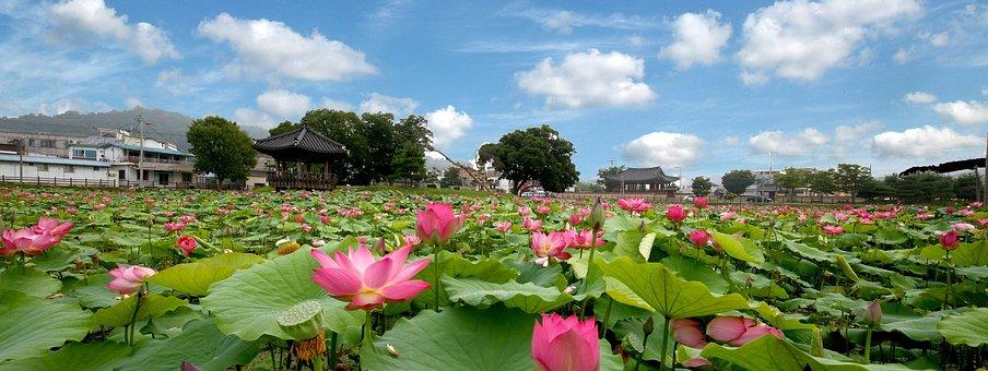 Lotus, Flowers, Sky, Nature, Water Lilies, Kite, Pond