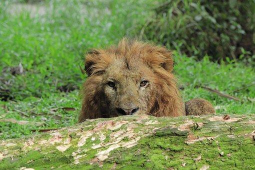 Lion, Animal, Wild, Wildlife, Nature, King, Mammal