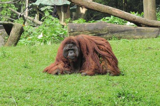 Orangutan, Monkey, Animal, Safari, Zoo, Wildlife, Wild