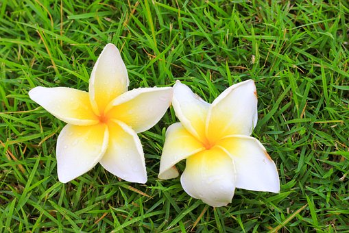 Flowers, Frangipani Flowers, Flower, More Information