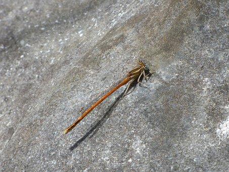 Platycnemis Acutipennis, Orange Dragonfly, Rock, Detail