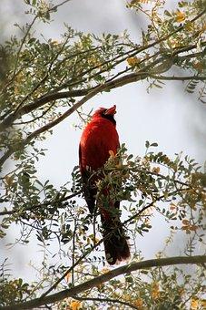 Cardinal, Redbird, Wildlife, Animal, Fauna, Songbird