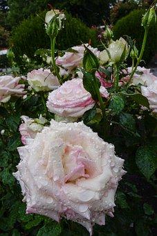 Rose, White, Drop Of Water