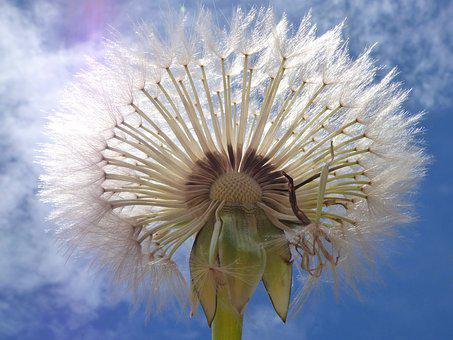 Dandelion, Seeds, Angelitos, Wind, Plant Geometry