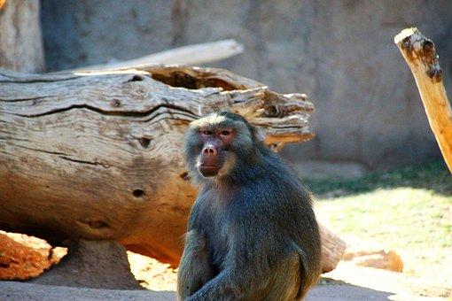 Hamadryas Baboon, Red Butt, Staring, Animal, Zoo, Fur