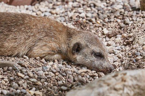 Meerkat, Mammal, Cute, Animal, Vigilant, Zoo