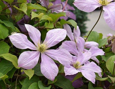 Clematis, Flower, Blossom, Bloom, Vine, Plant, Garden