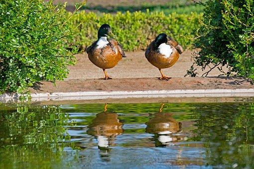 Mallard, Duck, Anas, Platyrhynchos, Water, Mirroring