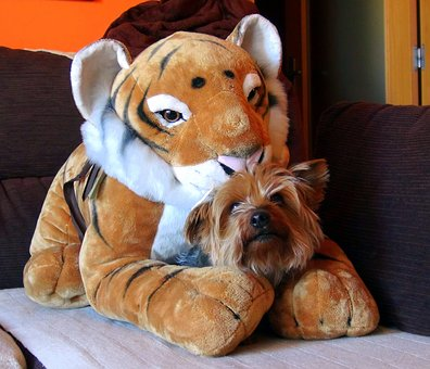 Teddy, Tiger, Pet, Dog, Friend, Adorable, Look, Bitch