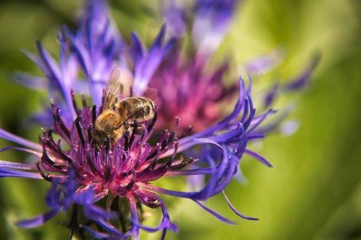 Cornflower, Bee, Flower, Blue, Blossom, Bloom, Summer