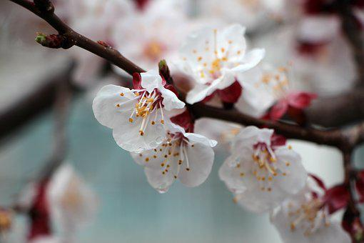 Apricot Tree Flower, Flowers, Wood, Cherry Blossom