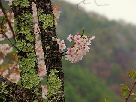 Cherry, Japan, Takato Cherry Blossoms, Mountain