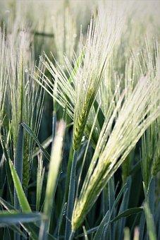 Wheat, Winter Wheat, Grass, Halme, Grasses, Close