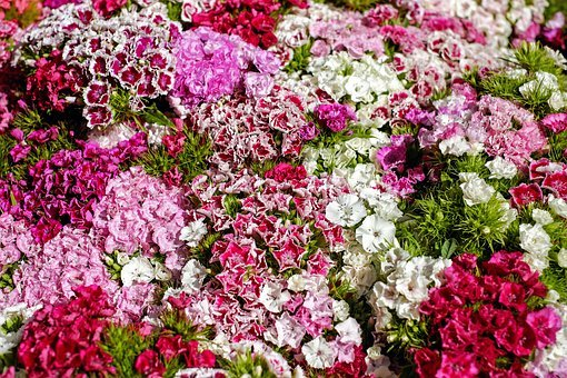 Sweet William, Carnation, Bloom, Colorful, Color