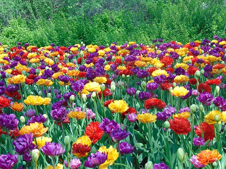 Tulips, Flowers, Field, Spring, Nature, Colorful, Park