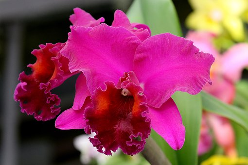 Orchid, Flower, Floral, Blossom, Plant, Purple, Pink