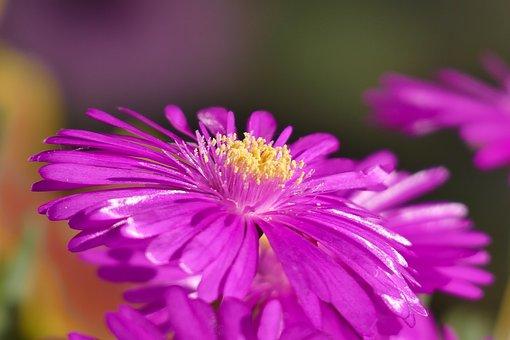 Ice Plant, Flower, Summer, Nature, Blossom, Bloom