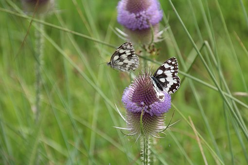 Thistle, Butterfly, Flower, Insect, Nature