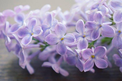 Lilac, Macrophoto, Macro, Flowers, Nature, Purple