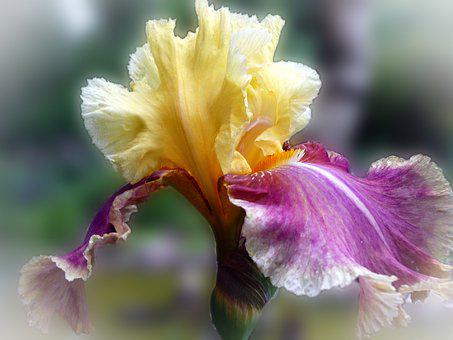 Iris Flower, Purple Yellow, Close, Garden