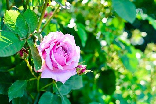 Plant, Natural, Rose, Flowers, Green, Bud, Pink, Leaf