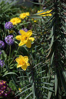 Daffodils, In The Garden, Narcissus Pseudonarcissus