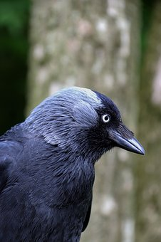 Jackdaw, Blackbird, Bird, Animal, Nature, Crow, Wild