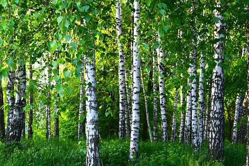 Birch, Grove, Forest, Spring, Greens, Nature, Landscape