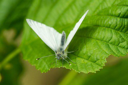 Butterfly, Leaf, Macro, Nature, White