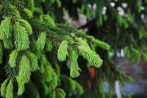 Spruce, Green Tree, Needles, New Shoots, Closeup, Green