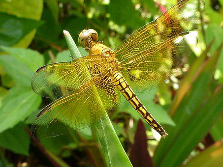 Dragonfly, Golden, Philippines, Islands, Photography