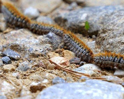Caterpillars, Processionary, Plague, Row, Nature, Soil