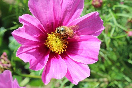 Flower, Blossom, Bloom, Bee, Nature, Purple, Pink