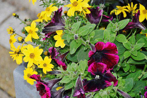 Petunia, Colorful, Flowers, Violet, Purple, Yellow