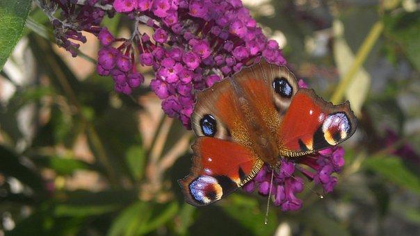 Koningsvlinder, Butterfly Bush, Purple