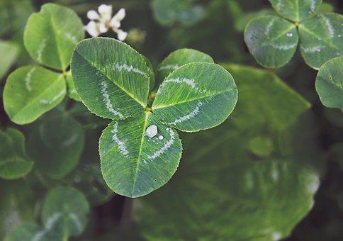 Clover, Trifoliate, Macro, Drops, Raindrops, Nature
