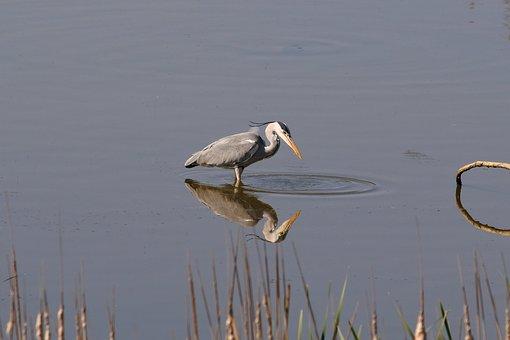 Animal, River, Waterside, Wild Birds, Heron, Gray Heron