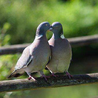 Pigeon, Love, Kiss, Romance, Bill, Coo, Bird, Affection