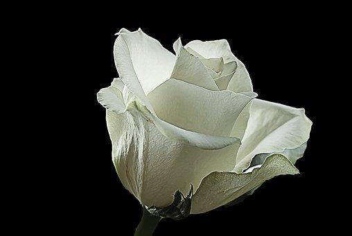 White Rose, Rose, White, Creative, Nature, Wild Rose