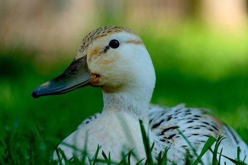 Duck, White, Animal, Water, Water Bird, Meadow, Sit